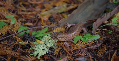 California giant salamander patiently waits for banana slug to move closer