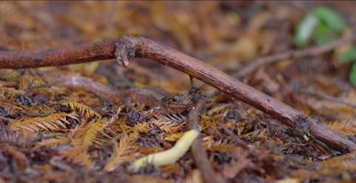 California giant salamander waits for approaching banana slug