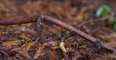 California giant salamander, banana slug approaches, slip focus