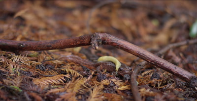California giant salamander, banana slug on its back, slithers away