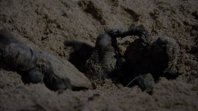 Loggerhead turtles hatching digging up and scrambling away