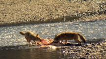 Coyotes Tug At Elk Carcass In Yellowstone National Park