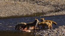 Watchful Coyotes Tug And Feast On Elk Carcass In Yellowstone National Park