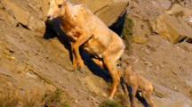 Ascending Bighorn Sheep Lamb Closely Follows Ewe