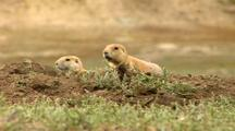 Black-tailed Prairie Dog In A National Park
