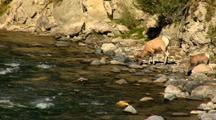 Bighorn Sheep Ram & Lamb Drink Gardner River In Yellowstone National Park