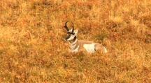 Pronghorn Antelope In Lamar Valley Yellowstone National Park