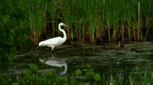 Great White Egret Captures And Eats Prey