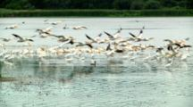 Pelicans Descend On Wetland Pond To Compete For Food