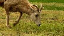 Bighorn Sheep Ewe Grazes
