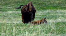 Bison Calf Licks Coat, Adult Feeds