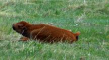 Profile Of Bison Calf At Rest, Chews On Grass