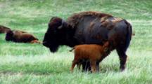 Bison Calf Nurses
