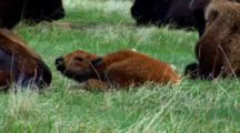 Bison Calf Chews On Stalk Of Grass