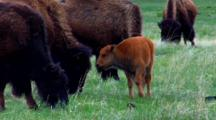 Bison Graze Around Calf