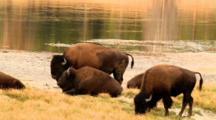 Bison Graze Near River