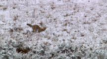 Coyote Eagerly Searches And Digs For Prey
