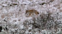 Coyote Walks In Snowy Sagebrush And Listens For A Meal