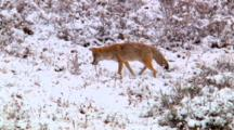 Coyote Patiently Listens And Pounces On Prey