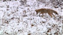 Hunting Coyote Steps Quietly Through Snowy Sagebrush