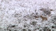 Coyote Stands On Three Feet Then Slithers Through Sagebrush