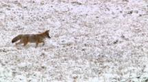 Coyote Hunts For Food In Snowy Sagebrush Flats