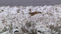 Coyote Jumps And Hunts Near Yellowstone River