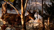 Mule Deer Feeds In Grand Teton National Park