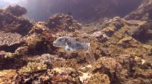 Star Puffer Fish Against Coral Reef