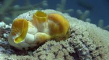 Yellow Tunicate Next To Waving Hard Coral Polyps