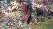 Glorious Flatworm On Red Gorgonian Long