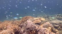 Pristine Coral Garden Swimover With Schooling Chromis Clip 2