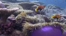 Coralscape With Anemone Fish And Anemones
