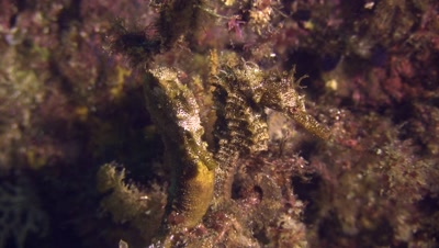 Pacific seahorse on wall
