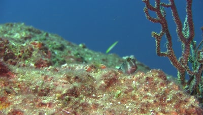 Panamic fanged blenny leaves