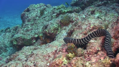 Zebra moray prowling
