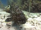Large Black Grouper And Nassau Grouper Fight For Lobster