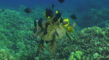 Green Turtle Being Approached By Cleaner Fish