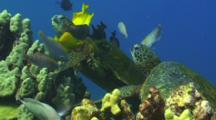 Green Turtle Trying To Steal Cleaner Fish At Cleaning Station