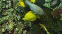 Yellow Tangs Pick Algae Off A Green Turtles Neck