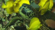 Yellow Tangs Picking Algae Off A Green Turtles Neck