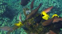 Green Turtle (Chelonia Mydas) Being Cleaned By Yellow Tangs,Pale Nosed Parrot Fish And Surgeon Fish