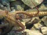 Moray Eel Attacks Octopus