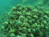 Murex Dye, Sea Snail Mating