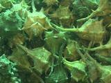 Murex Dye, Sea Snail Mating , Murex Brandaris