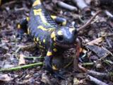 Amphibian, Fire Salamander Eating Prey