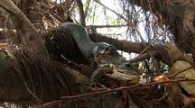 Snake Eating Frog, Snake Killing Frog , Snake Swallowing Living  Frog
