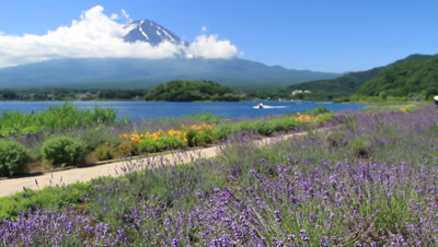 Lavender field and Mount Fuji
