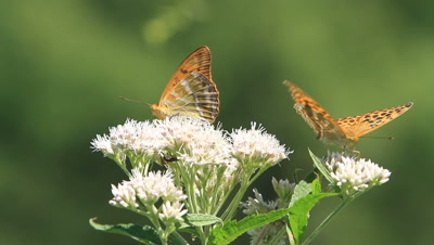 Butterfly Royalty Free Stock Footage