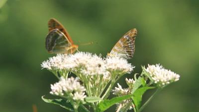 Indian Fritillary butterflies on white flower